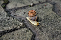 Wedding rings on the shell of a snail Stock Photos