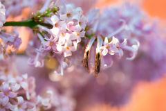 Wedding rings in soft pink flowers of lilac Stock Photos