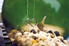 Wedding rings underwater in an aquarium Royalty Free Stock Image