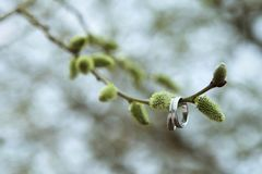 Wedding rings on a willow twig. Spring day. The beginning of spring royalty free stock image