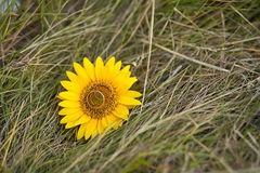 Wedding rings on yellow sunflower nd grass. Wedding golden rings on sunflower and autumn grass Stock Photos