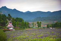Wedding studios in Lavender Fields Royalty Free Stock Photo