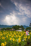 Wedding Studios in Sunflower Fields Stock Photography