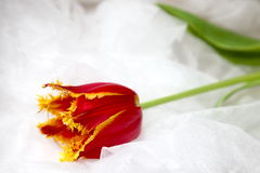 Wedding tulip. A beautiful colored tulip resting on a wedding dress royalty free stock photos