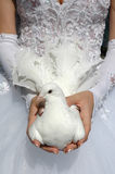 WEDDING WHITE PIGEON. The bride with wedding white pigeon in the hands Stock Image