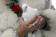 Wedding white pigeon. The bride with wedding white pigeon in the hands, meaning a symbol Stock Image