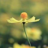 Wedelia trilobata kwiat Zdjęcie Royalty Free
