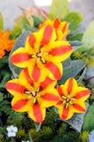 Wedensky's tulip Stock Image
