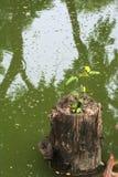 Wedergeboorte van een boom; een dode stompzitting in een moerassig meer, die geboorte geven aan een nieuwe zaailing stock afbeeldingen