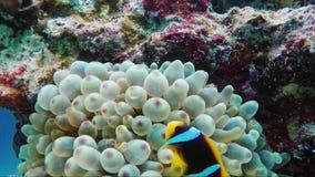 Wederzijdse symbiose in aard Vissenclown het verbergen onder de giftige tentakels van de zeeanemoon Egypte, het Rode Overzees stock footage