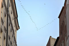 Wedge of birds. Flying over the city Royalty Free Stock Photo