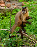 Wedge-capped capuchin royalty free stock photo
