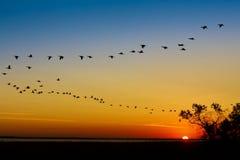 Wedge of cranes on sunset stock photo