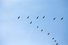 Wedge of flying wild geese. Silhouettes of a wedge of flying wild geese Royalty Free Stock Images