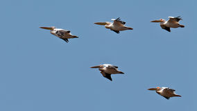 Wedge of pelicans flies in the blue sky Stock Photography