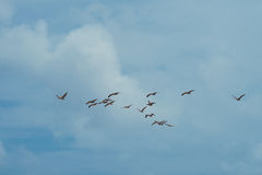 Wedge of pelicans in taxas Royalty Free Stock Photo