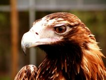 Wedge Tail. Close up of a Wedge Tailed Eagle Royalty Free Stock Images