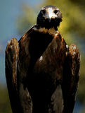 Wedge Tail Eagle Royalty Free Stock Photo