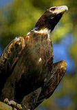 Wedge Tail Eagle Stock Photo