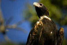Wedge Tail Eagle Royalty Free Stock Image
