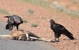 Wedge tail eagle feeding Stock Images