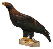 Wedge-tailed Eagle. Aquila audax Stock Photography