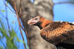Wedge-tailed Eagle stock image