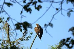 Wedge tailed Eagle, bird of prey perching on a tree looking for prey in Nepal stock photography