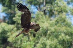 Flying wedge-tailed eagle in the Yarra Valley in Victoria, Australia stock image