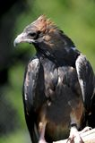 Wedge Tailed Eagle Royalty Free Stock Photos
