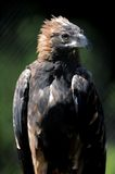 Wedge Tailed Eagle Stock Images