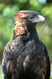 Wedge Tailed Eagle Stock Photography