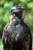 Wedge Tailed Eagle Royalty Free Stock Image