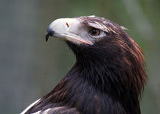 Wedge-Tailed Eagle Closeup Royalty Free Stock Photos