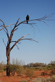 Wedge-tailed eagle on a dry tree Royalty Free Stock Photo