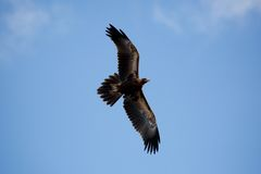 Wedge-Tailed Eagle in Flight Royalty Free Stock Photos