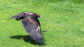 Wedge-tailed Eagle flying low above grass Royalty Free Stock Photos