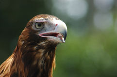 Wedge-tailed eagle Royalty Free Stock Image