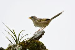 Wedge-tailed Grass Finch Emberizoides Herbicola Stock Photography