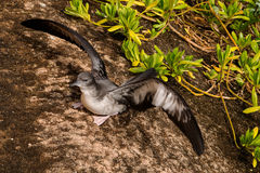 Wedge-tailed shearwater Stock Image