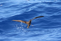 Wedge-tailed Shearwater Royalty Free Stock Photos