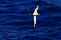 Wedge-tailed Shearwater. (Procellaria pacifica) in Japan Royalty Free Stock Photography