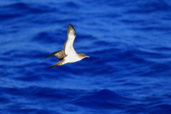 Wedge-tailed Shearwater. (Procellaria pacifica) in Japan Stock Photography