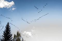 Wedges of geese fly south in autumn Royalty Free Stock Image