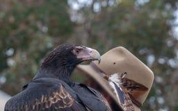 Wedgetail Eagle con l'operatore fotografia stock