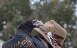 Wedgetail Eagle with handler stock photo