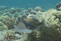 Wedgetail Triggerfish Στοκ Φωτογραφίες