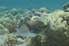 Wedgetail Triggerfish Arkivfoton