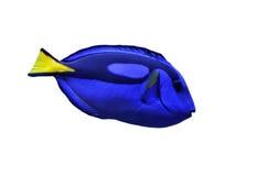Wedgetailed Blue Tang (Paracanthurus Hepatus) Royalty Free Stock Photos