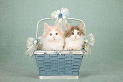 坐在Wedgewood蓝色篮子里面的挪威森林猫小猫装饰用弓和丝带 免版税图库摄影